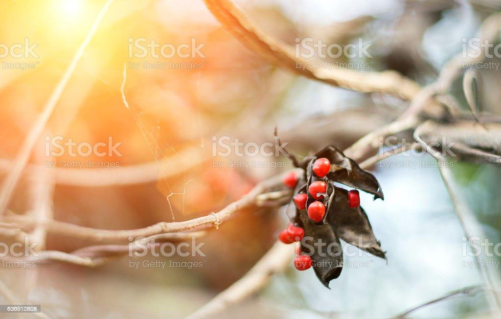 Abrus precatorius Linn ivy stock photo