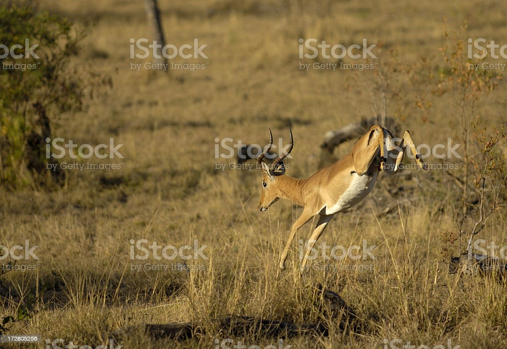 Absconding Impala in Sabi Sands stock photo