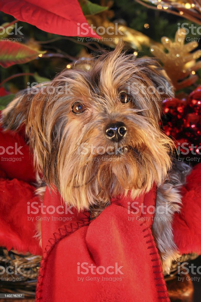'Absent-minded dog',  Immersed in the Christmas royalty-free stock photo