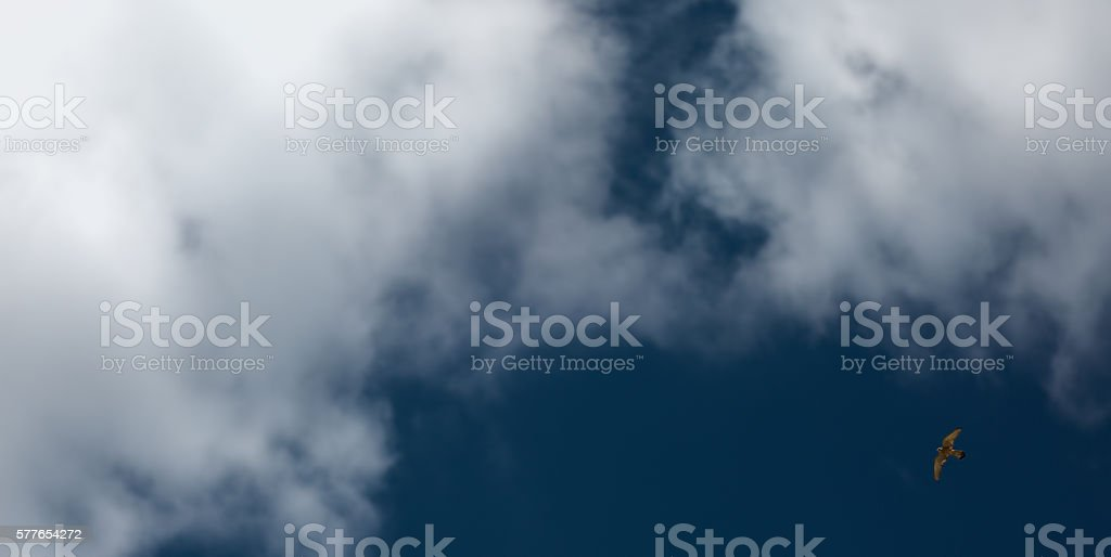 Absolute freedom Falcon flying indeep blue sky stock photo