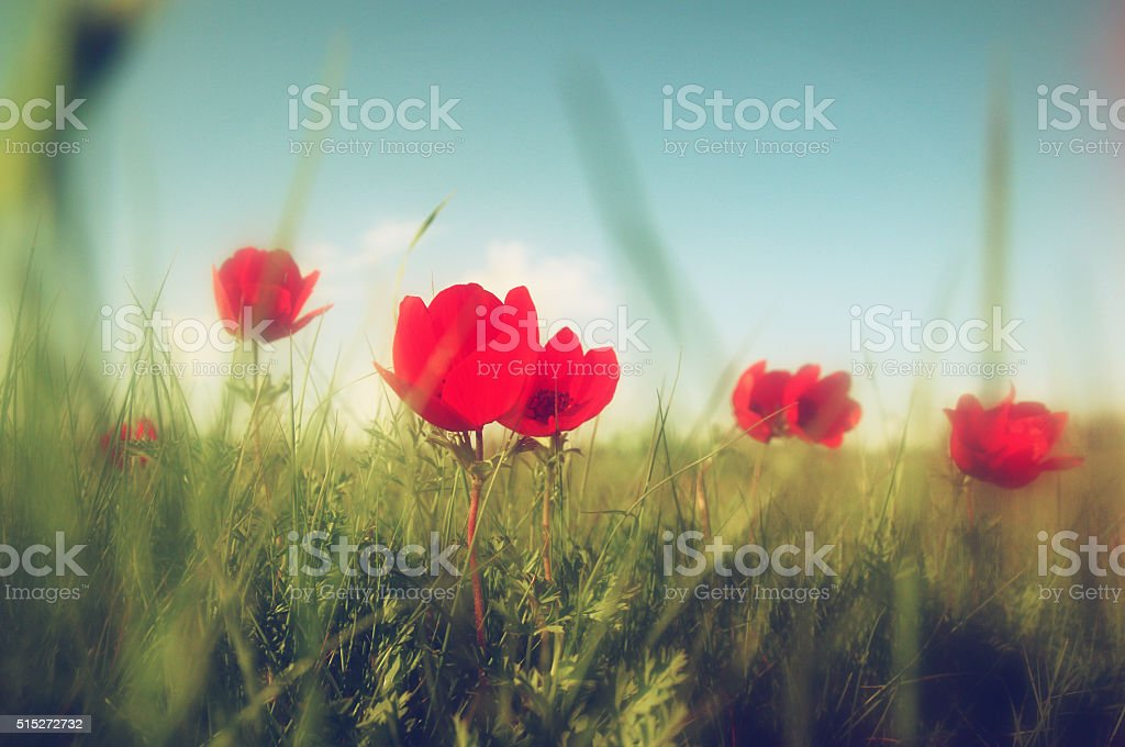 abstract and dreamy photo of red poppies stock photo