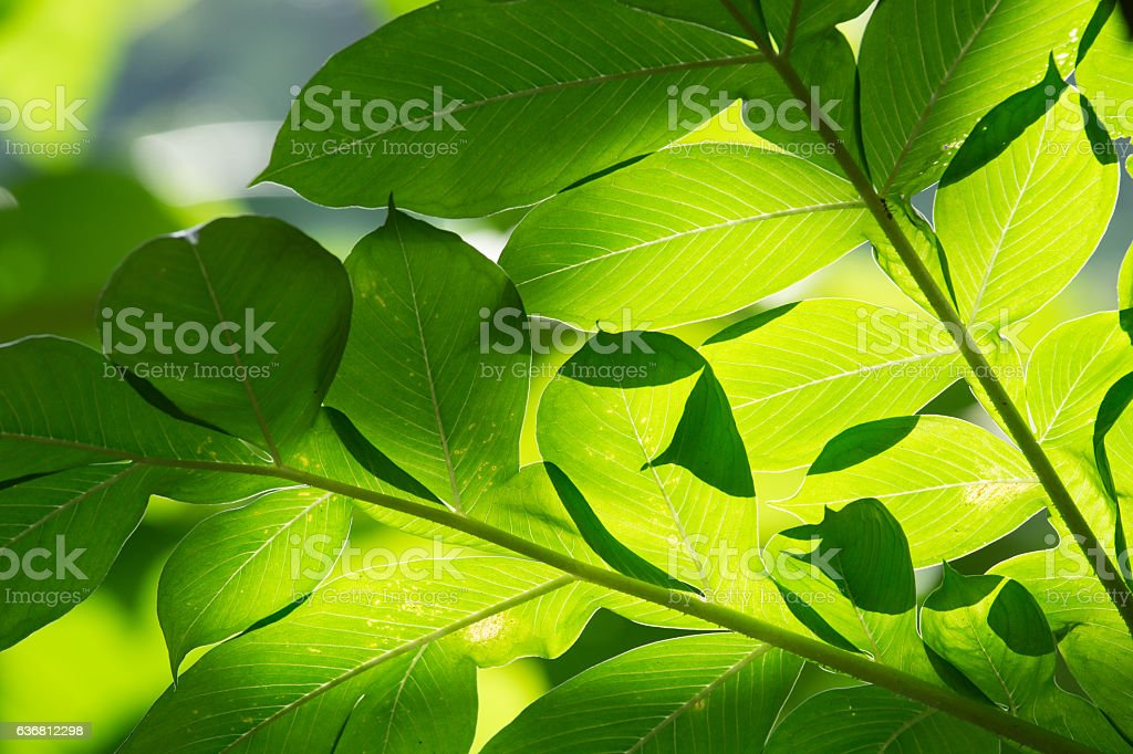abstract background of green leaves sunlight shines, Konjac leaves stock photo
