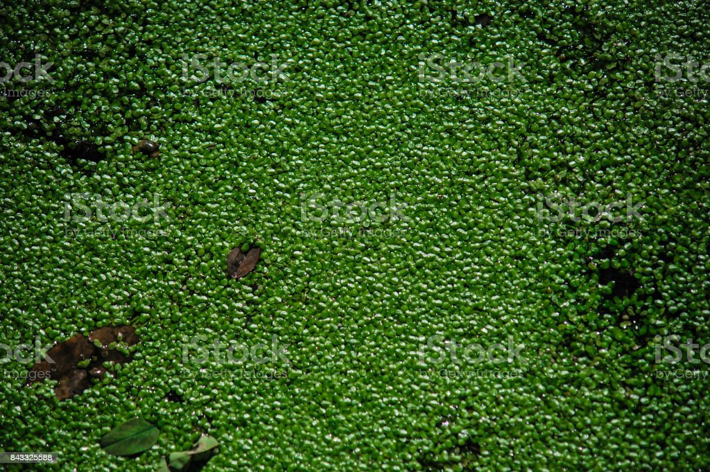 Abstract background of green sheets in swamp stock photo