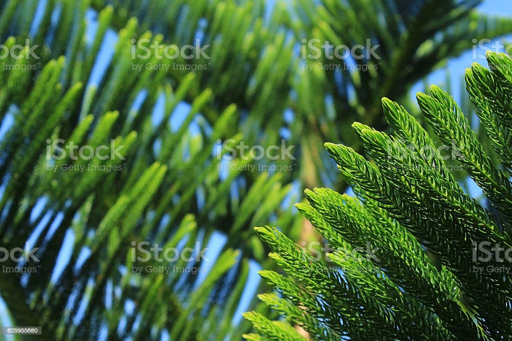 Abstract background of Norfolk Island Pine Tree stock photo