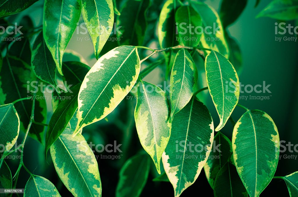 Abstract background with green leaves of Ficus on the tree stock photo