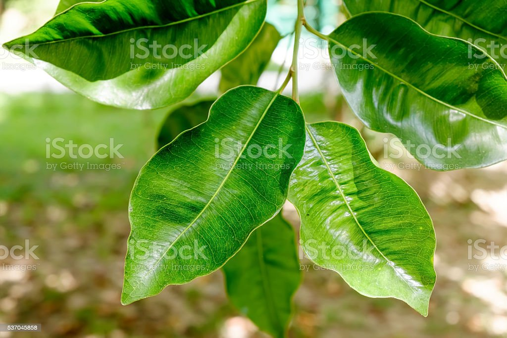 Abstract background with leaves of Ficus on the tree. stock photo