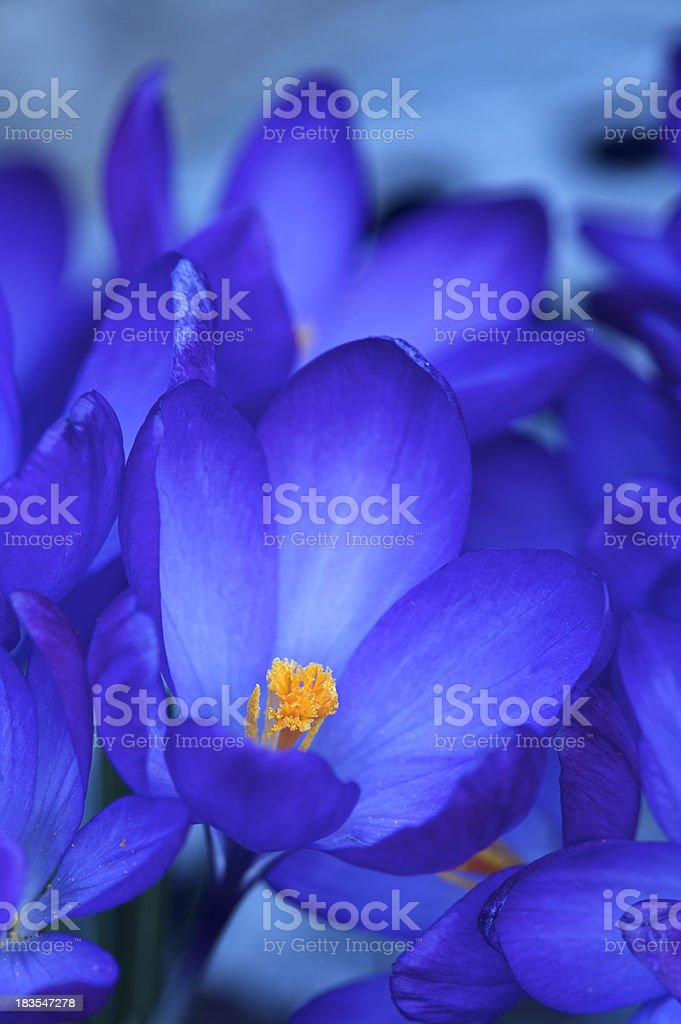 abstract blue crocuses royalty-free stock photo