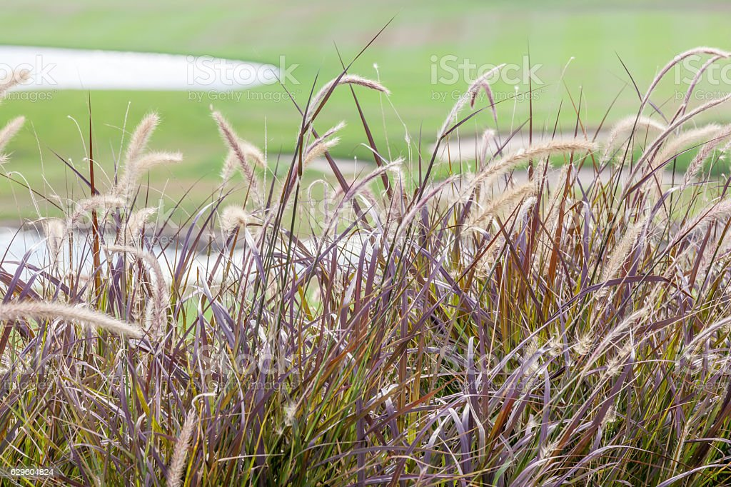 Abstract blurred photo of beautiful grass flower swaying in wind. stock photo
