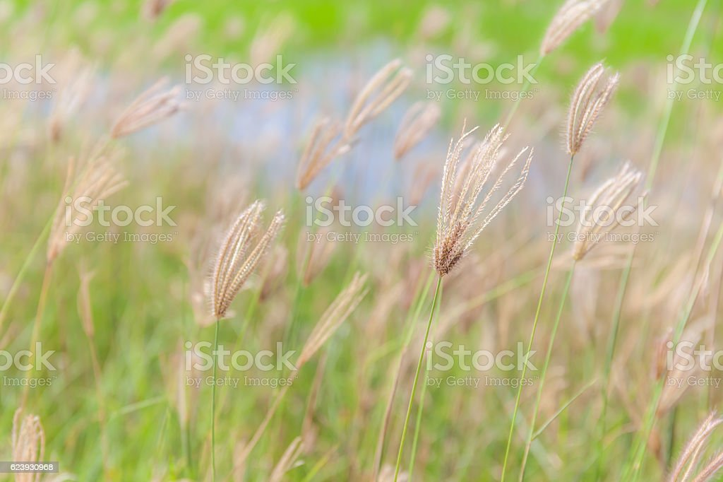 Abstract blurred photo of beautiful swollen finger grass swaying stock photo