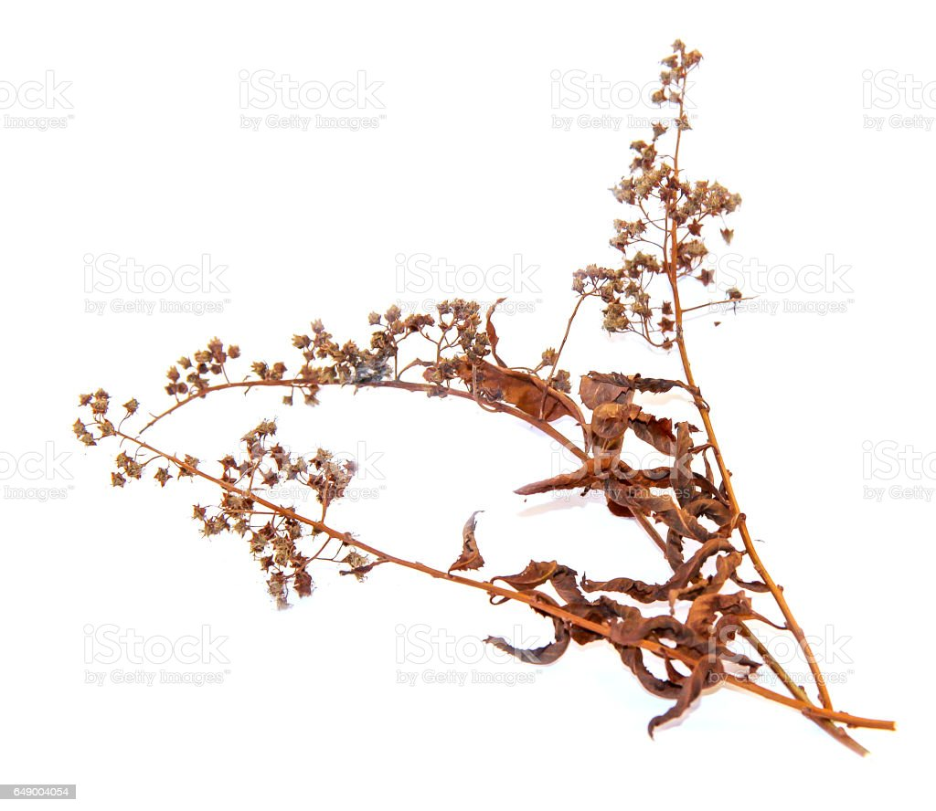 abstract brown twig of dried bush with small  seeds stock photo