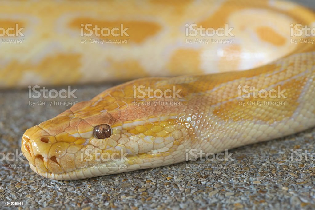 Abstract closeup of Gold python head background stock photo