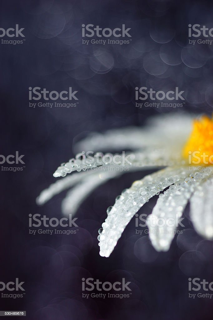 Abstract composition Daisy flower, bokeh light background stock photo
