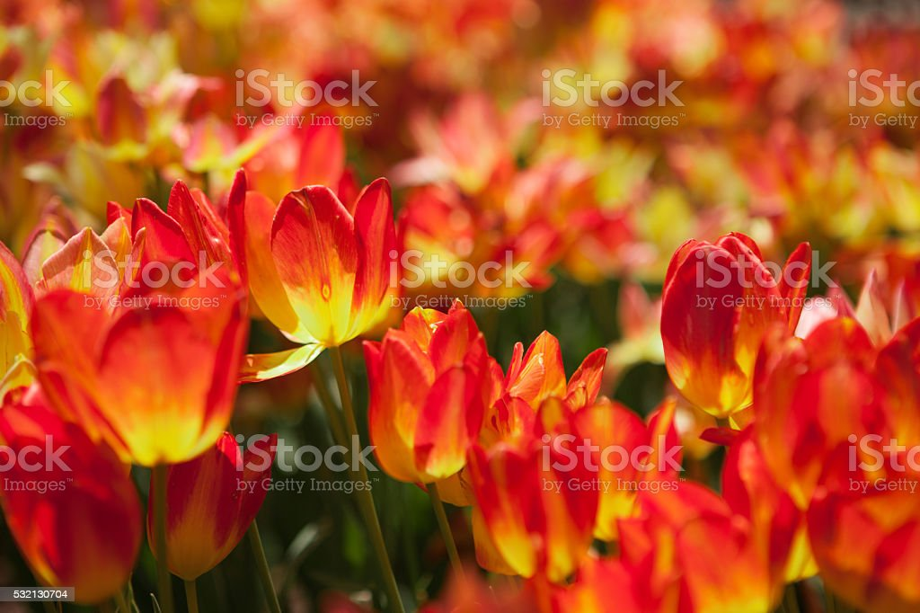 Abstract field of multicolor tulips in springtime stock photo