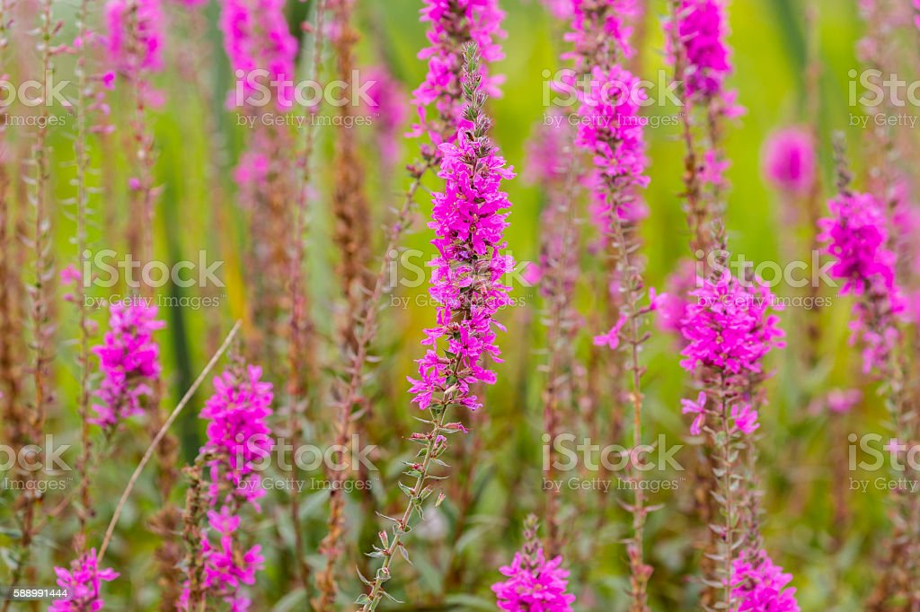Abstract -- Field of Tall Pink Flowers stock photo