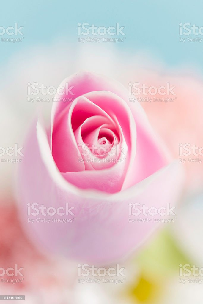 Abstract flower background of perfect pink rose with mixed blooms stock photo