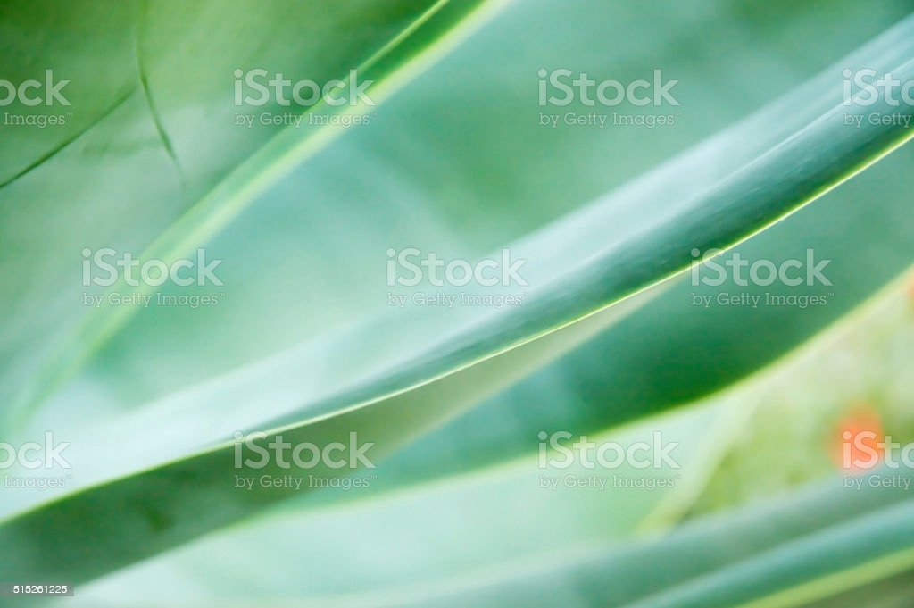 Abstract leaves Agave attenuata stock photo