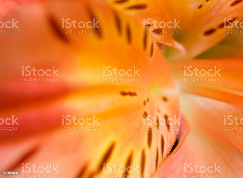 Abstract Lily royalty-free stock photo