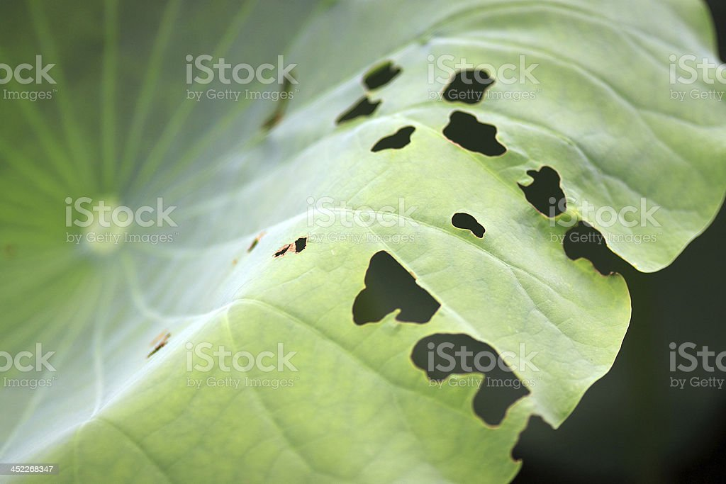 Abstract Lotus Green summer Nature Background royalty-free stock photo