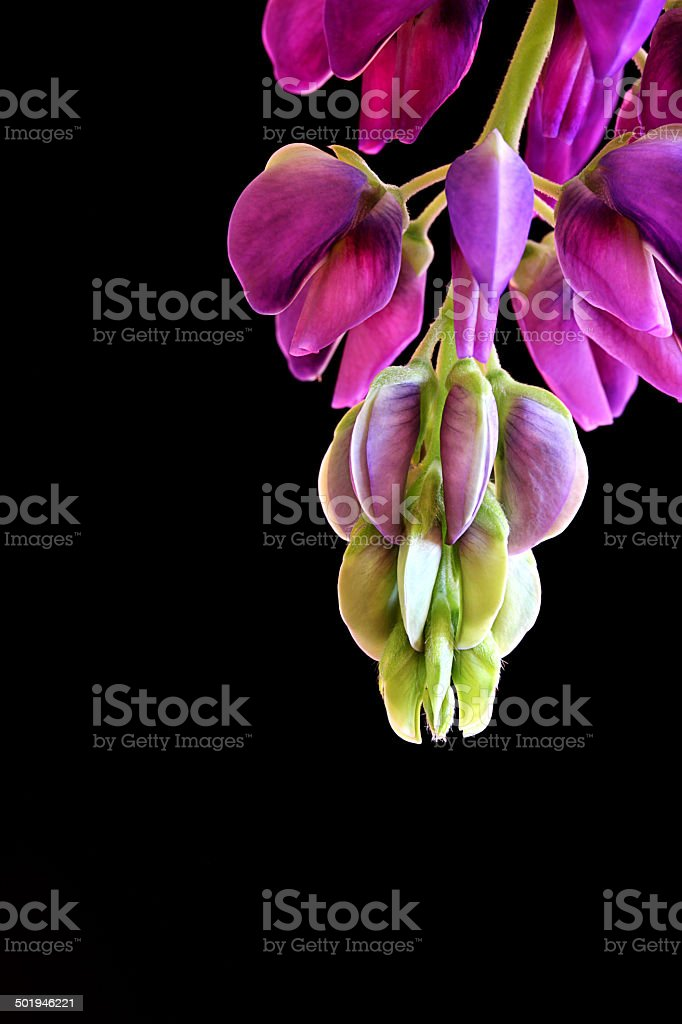 Abstract lupine stock photo