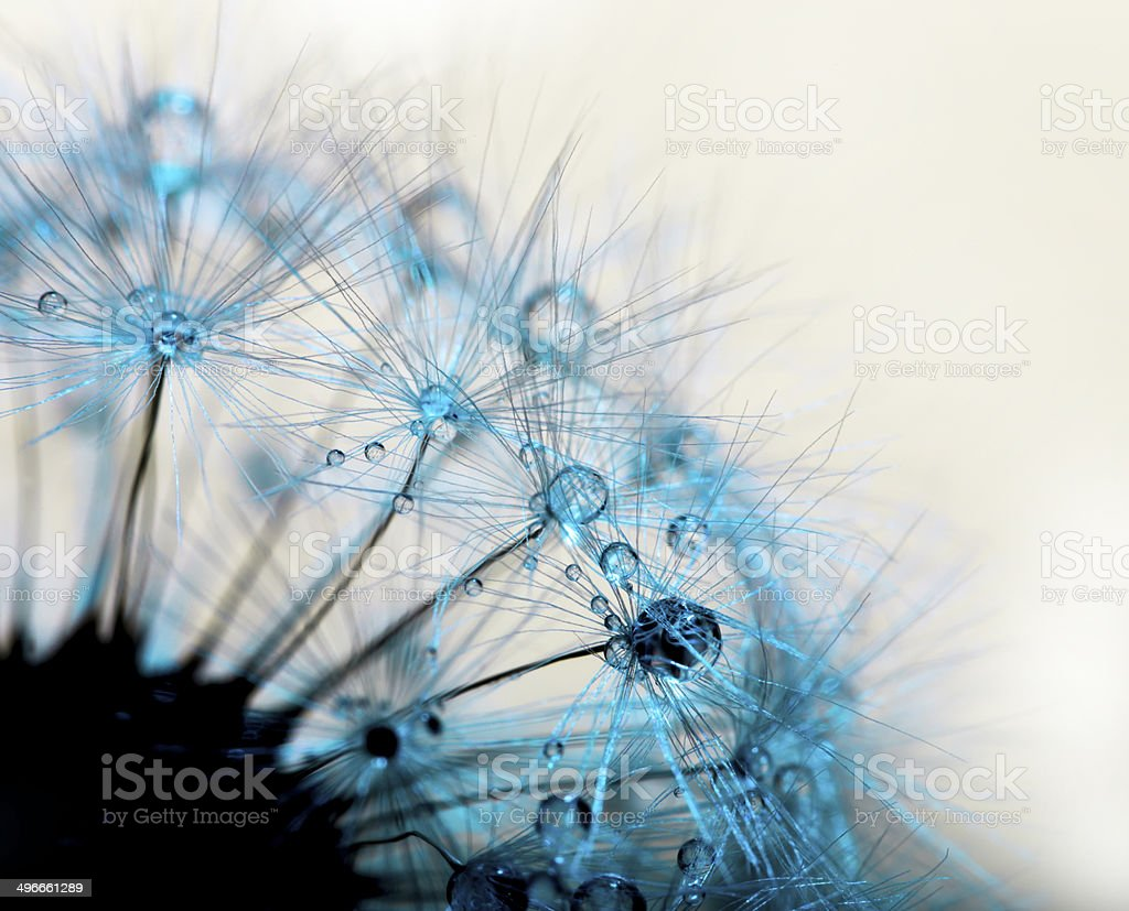 Abstract  macro  dandelion stock photo
