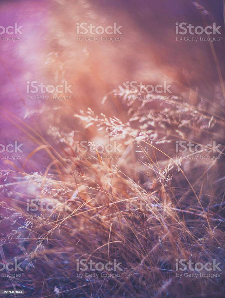 Abstract nature background of winter grasses in tones of pink stock photo