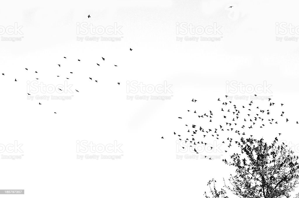 Abstract nature : Flying group birds on white background royalty-free stock photo