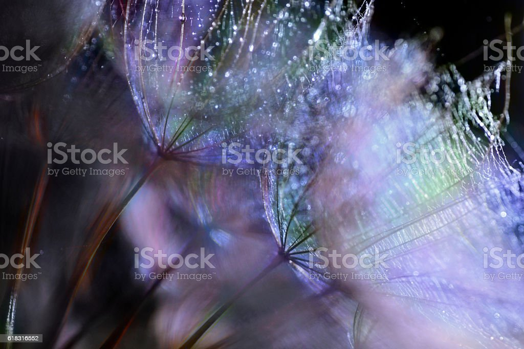 Abstract nature, wet Meadow Salsify, dandelion (goatsbeard) stock photo