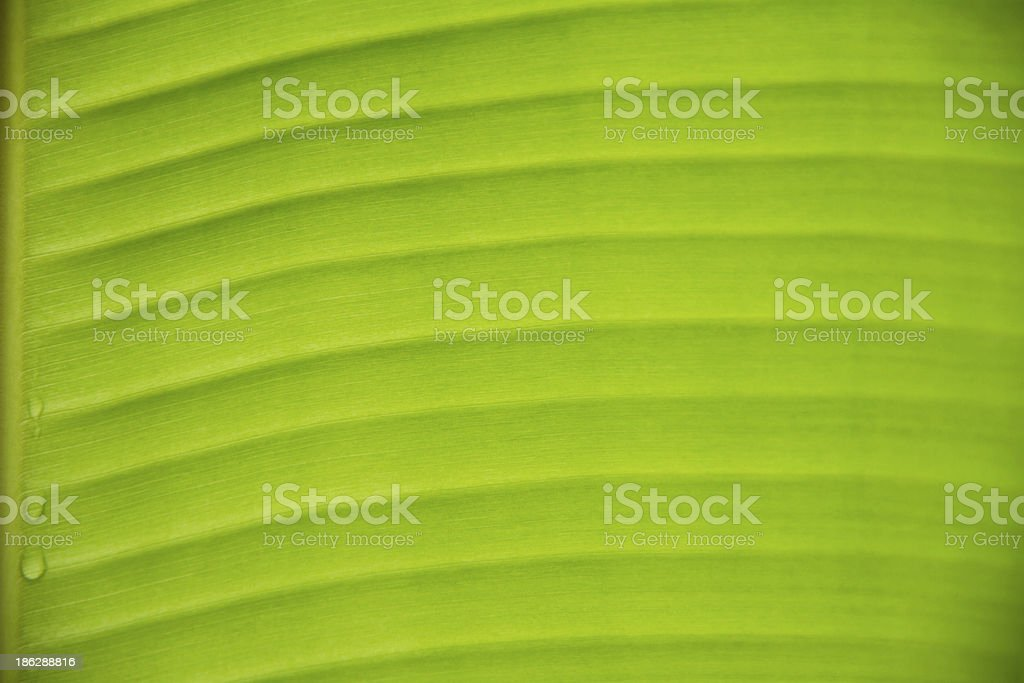 Abstract of banana leaf background royalty-free stock photo