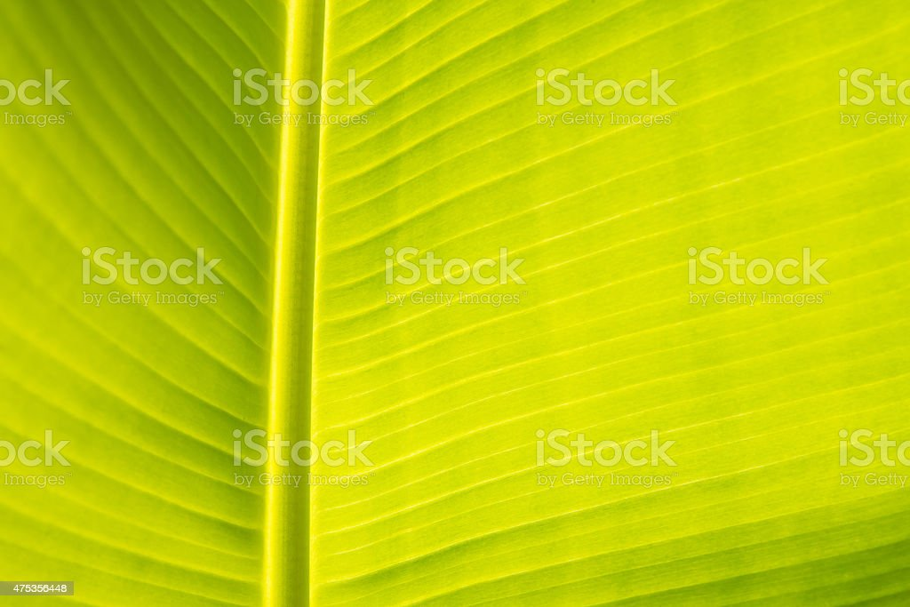 Abstract of banana leaf background,Soft focus royalty-free stock photo