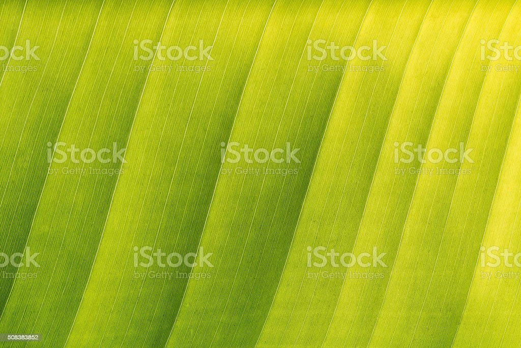 Abstract of green banana leaf background, texture (close up) stock photo