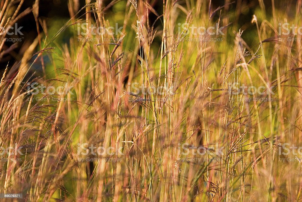 Abstract of prairie grass royalty-free stock photo