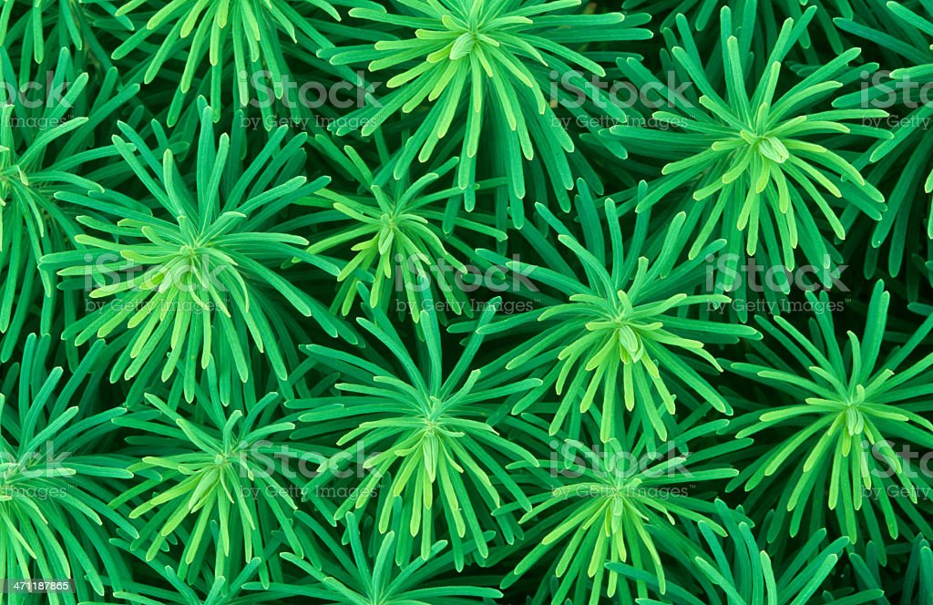 Abstract of spurge foliage stock photo