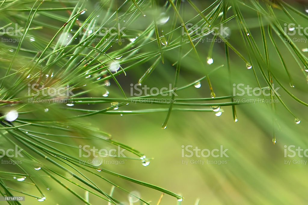 abstract pine needles and dew drops detail stock photo