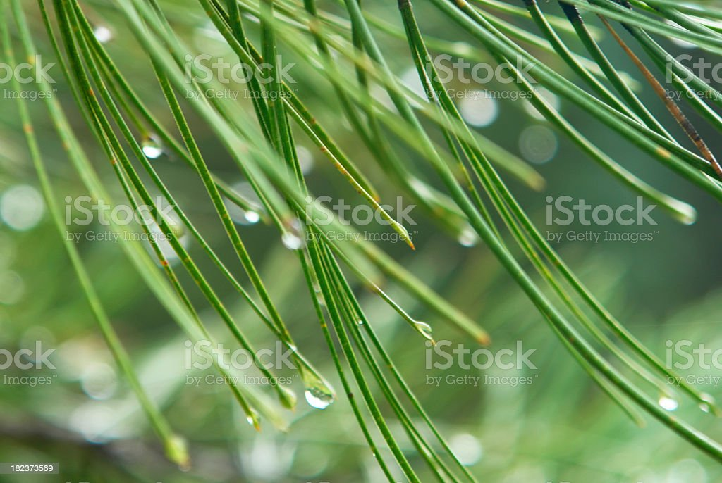 abstract pine needles dew drop close up in green stock photo