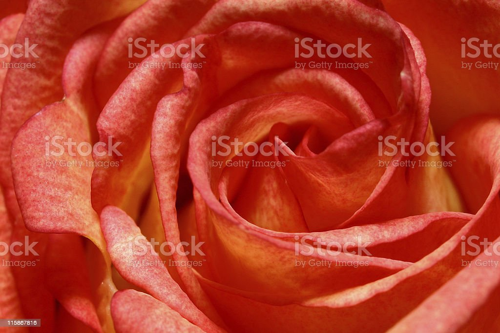 Abstract Rose royalty-free stock photo