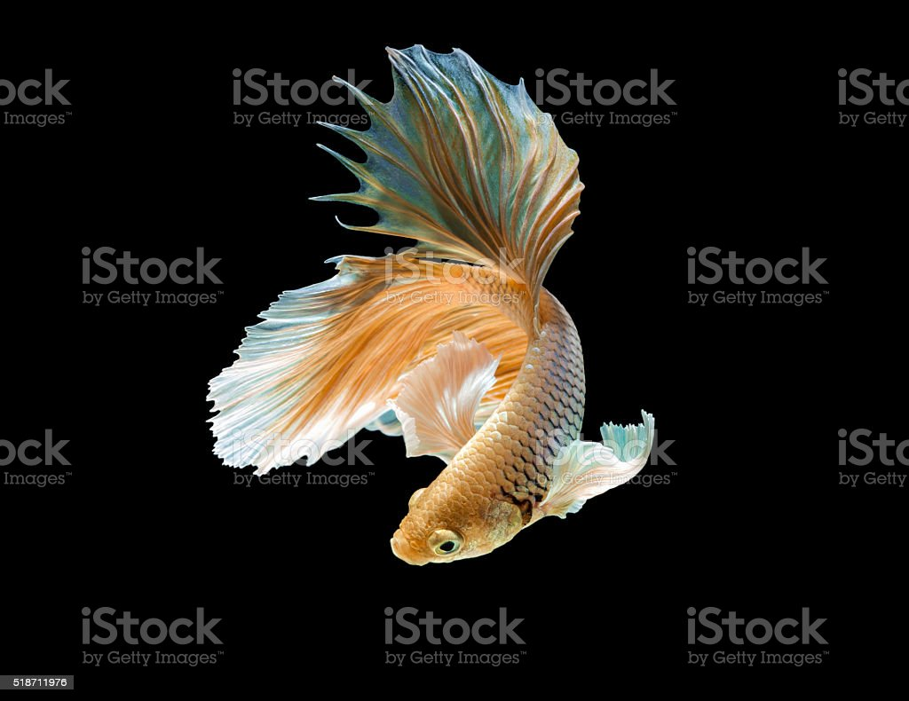 abstract siamese fighting fish stock photo