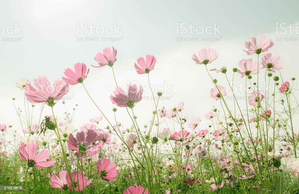Abstract soft focus Cherry Blossom or Sakura flower on pastel stock photo