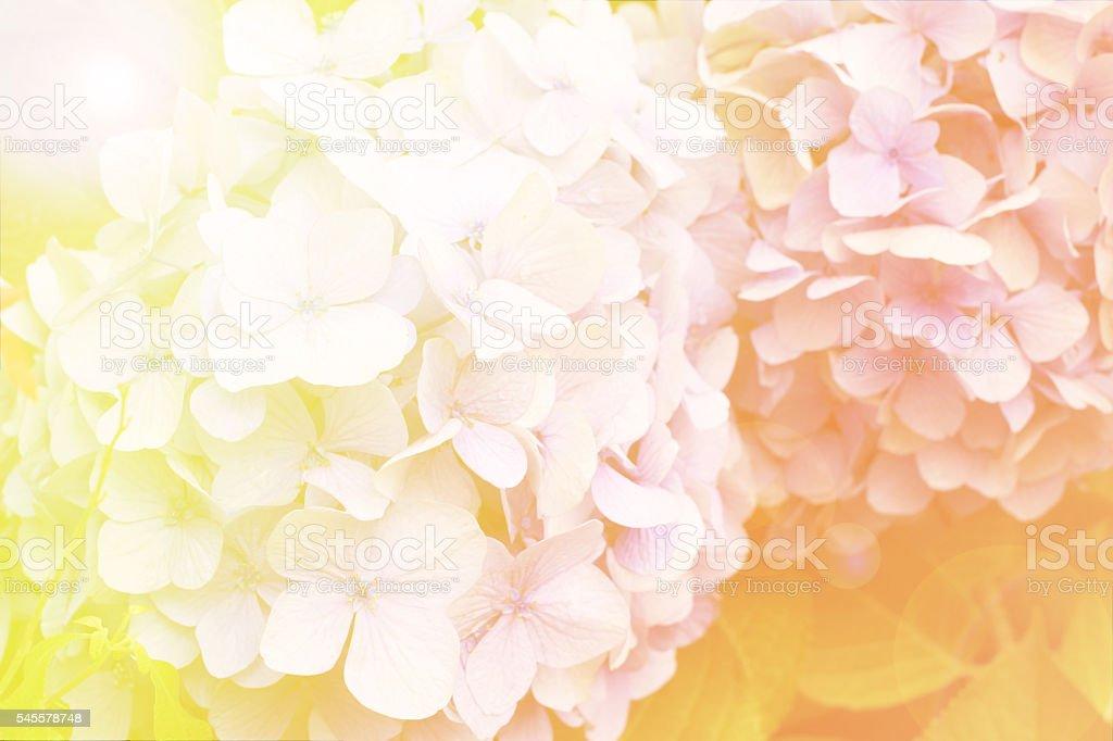 Abstract soft light Hydrangea flower stock photo