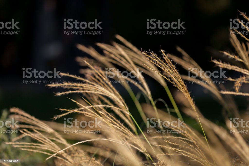 abstract softness beige Feather Grass stock photo