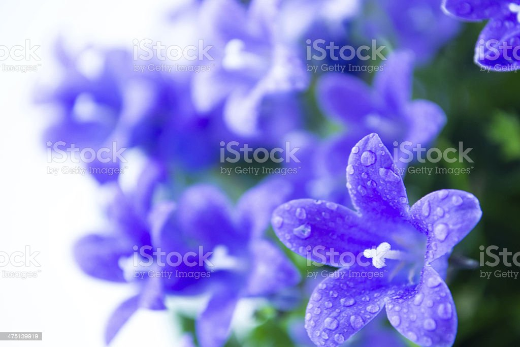 Abstract spring background with purple flowers  campanula or bellflowers flowers royalty-free stock photo
