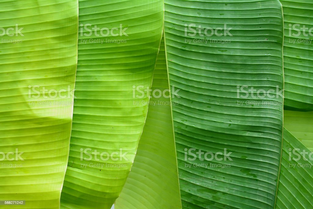 Abstract Stripe Green banana leaves texture background stock photo