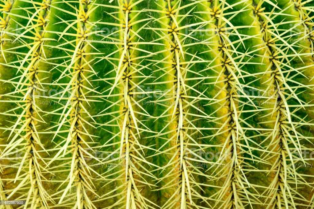 Abstract textured background of a barrel cactus (echinocactus grusonii), extreme close up stock photo