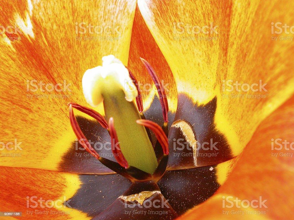 Abstract Tulip royalty-free stock photo