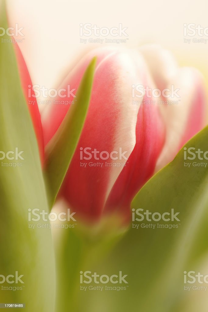 Abstract Tulip Soft Focus royalty-free stock photo