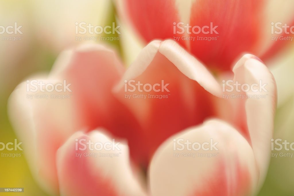 Abstract Tulips Defocussed royalty-free stock photo