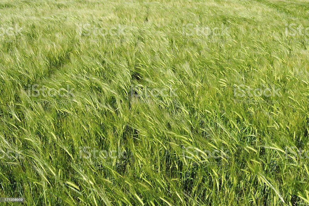 Abstract Wheat Field with tyre track royalty-free stock photo