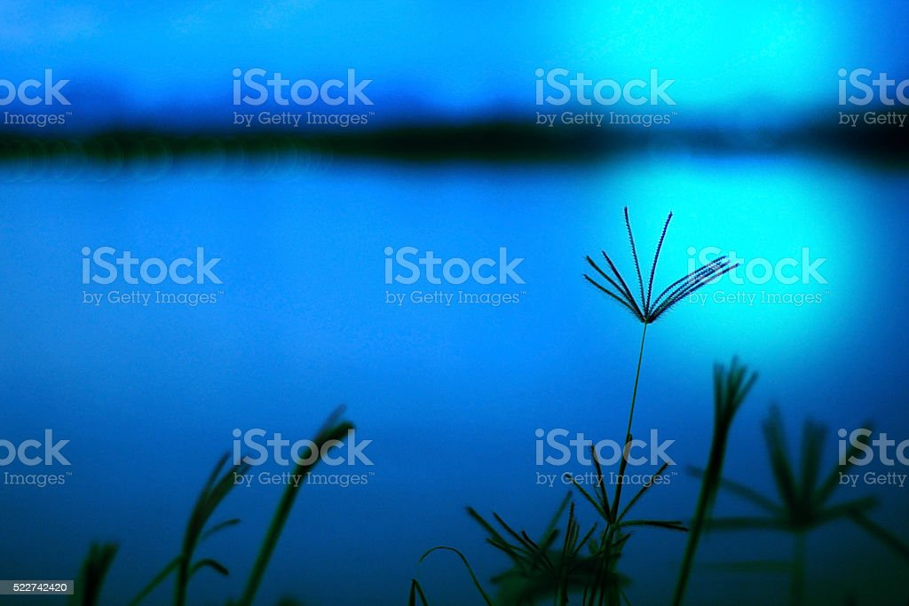 Abstract wildflowers background, Blurred of Swallen Finger Grass stock photo