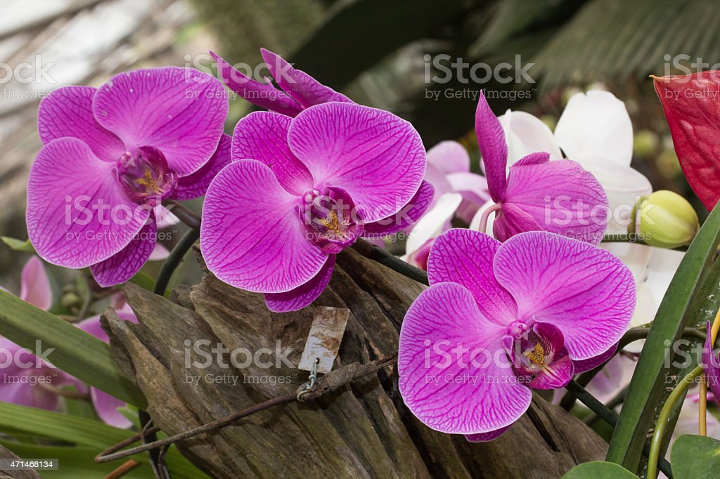 Abumdant blooming of Phalaenopsis, Moth Orchid stock photo