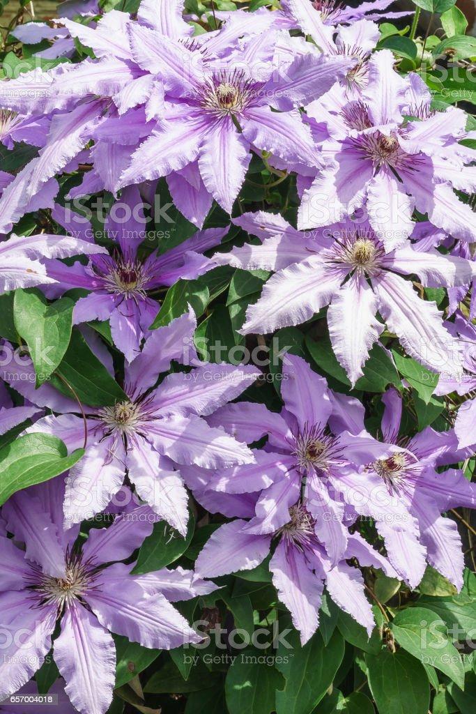 Abundant flowering clematis varieties Polish General Sikorski (lat. Clematis General Sikorski) stock photo