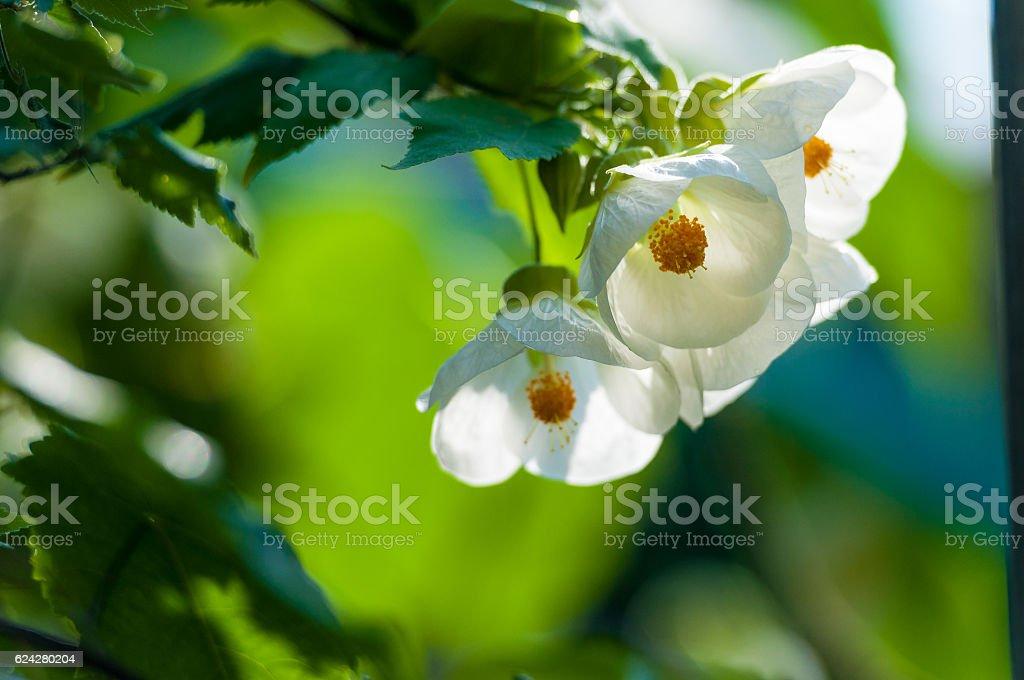 Abutilon flower zbiór zdjęć royalty-free
